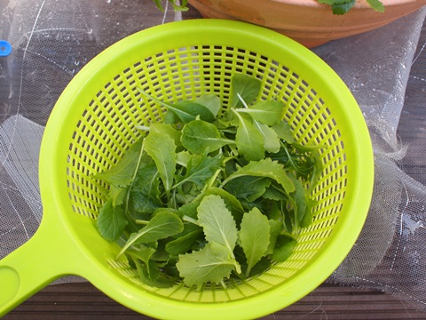 ベランダ菜園ベビーリーフの収穫