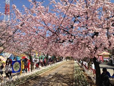グリーンセンターの桜